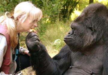 Koko the gorilla dies aged 46