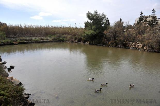 Ducks swim along at the inland sea known as Il-Maghluq at Marsascala on February 27. Photo: Chris Sant Fournier