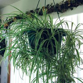 The hanging spider plant removes pollutants from the air.
