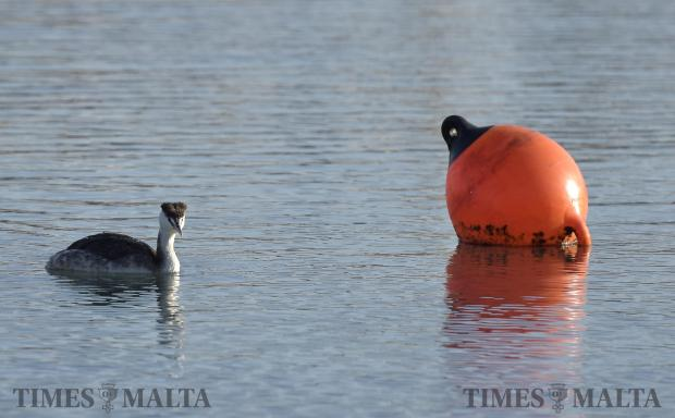 A rare great crested grebe swims alongside a bouy in the Marina in Ta Xbiex on February 22. Photo: Mark Zammit Cordina