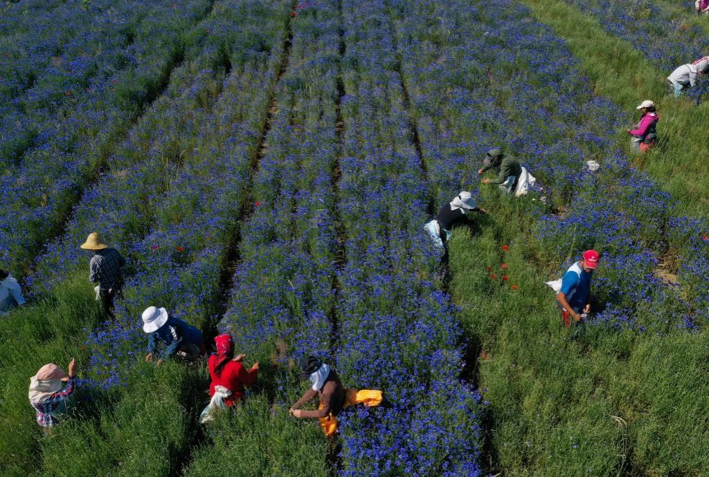 Farmers picking up medicinal herb Centaurea cyanus, commonly known as cornflower.