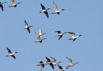 Ducks migrating, Ċirkewwa. Photo: Raymond Galea