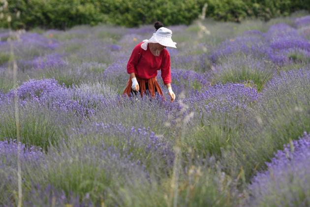 Demand for Albania's medicinal herbs has boomed during the pandemic