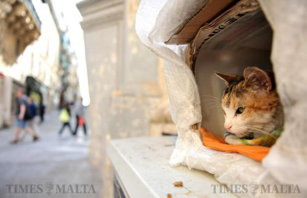 A cat looks out from a box in Melita Street Valletta on March 7. Photo: Chris Sant Fournier