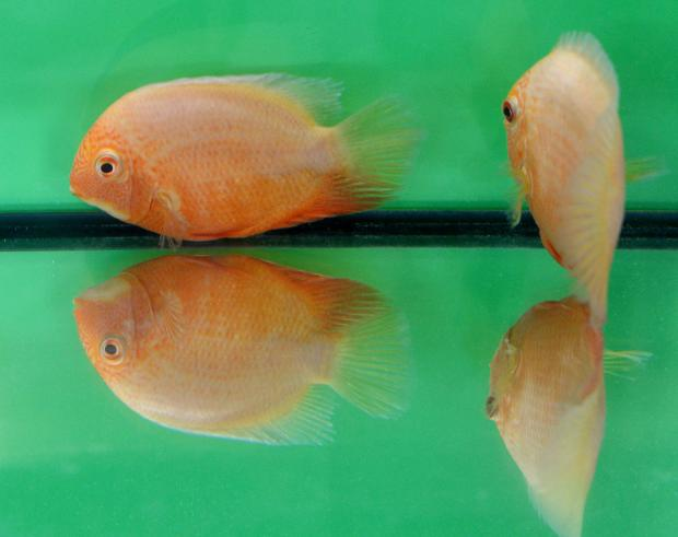 Tropical fish are displayed in tanks at a show at Mount Carmel Hospital in Attard on July 16. Photo: Matthew Mirabelli