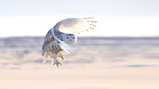 Under threat: The Snowy Owl is one of the well-known species to which the extinction crisis has spread.
