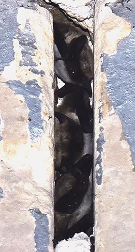 Bats roosting in urban home spaces.