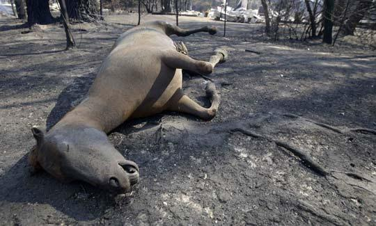 A horse that was trapped by the raging fires lies dead at the side of the road near Kinglake, north east of Melbourne. Picture: Reuters