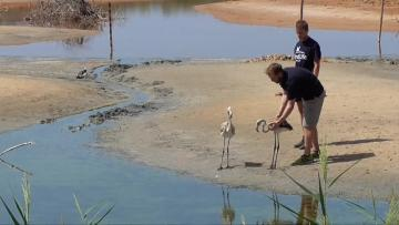 September 2017 footage of the Greater Flamingo being released at Għadira Nature Reserve