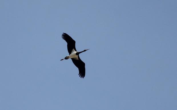 A black stork flying over Buskett. Photo: Denis Tanti