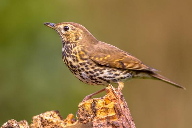 Song thrush trapping season opens Tuesday