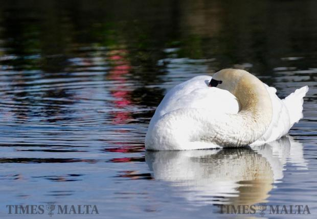 A Mute Swan as it rests behind Marsalforn Dam, Gozo on January 3 Photo: Steve Zammit Lupi
