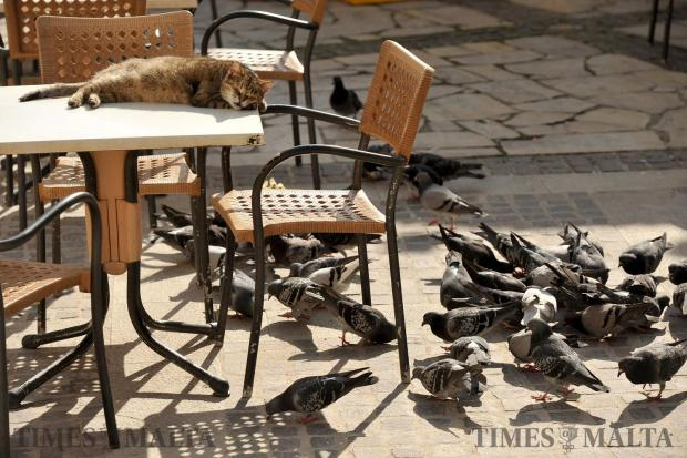 A cat sleeps in the afternoon sun at the Upper Barrakka Garden in Valletta on February 2, as pigeons scavenge food scraps just below. Photo: Chris Sant Fournier