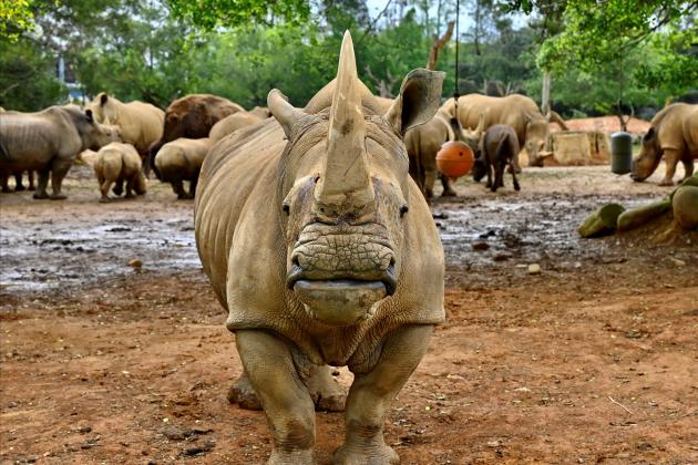 Looking for love, white rhino 'Emma' lands in Japan