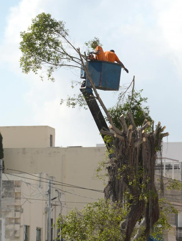 The last branches are cut down from two trees in Balzan Valley on June 21. Photo: Matthew Mirabelli