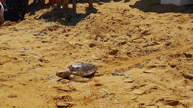 Second chance as loggerhead turtles released after rehabilitation