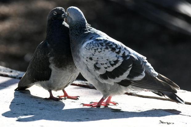 Two pigeons share a romantic moment in San Anton on October 23. photo: Jonathan Borg