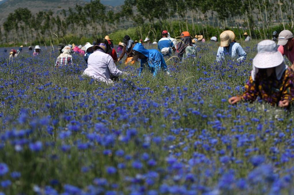 Farm workers pick medicinal herb Centaurea cyanus in the village of Sheqeras near the city of Korca.