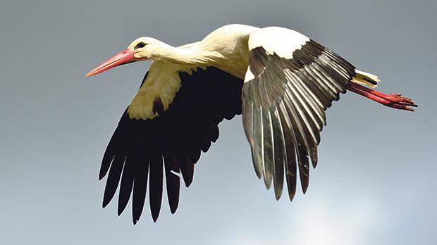 One of the storks flying over Malta soon after the flock's arrival. Photo: Natalino Fenech