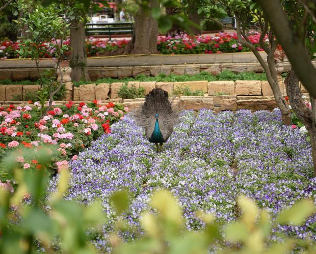 A peacock passes through flowers at San Anton Gardens in Attard on May 20. Photo: Mark Zammit Cordina
