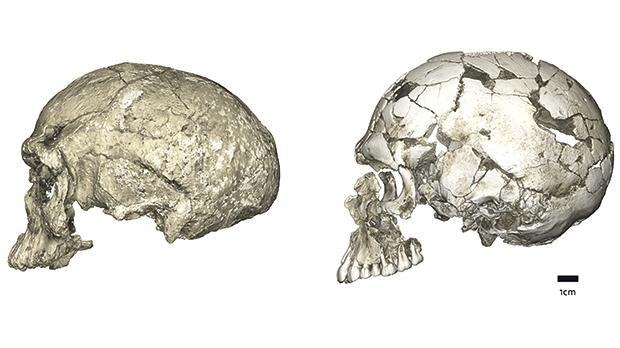 Evolutionary changes of braincase shape from an elongated to a globular shape. The latter evolves within the Homo sapiens lineage via an expansion of the cerebellum and bulging of the parietal. Left: micro-CT scan of Jebel Irhoud 1 (circa 315,000 years old, Africa); Right: Qafzeh 9 (circa 95,000 years old, the Levant). Photo: Philipp Gunz