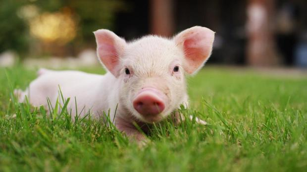 Researchers will be allowed to create animal embryos with a human pancreas and transplant it into the womb of a pig. Photo: Shutterstock