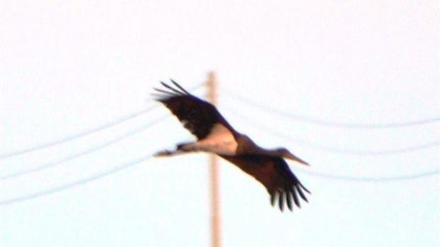 A stork photographed by a hunter yesterday.