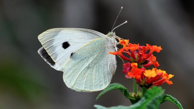 White Cabbage Butterfly. Photo: Victor B. Caruana