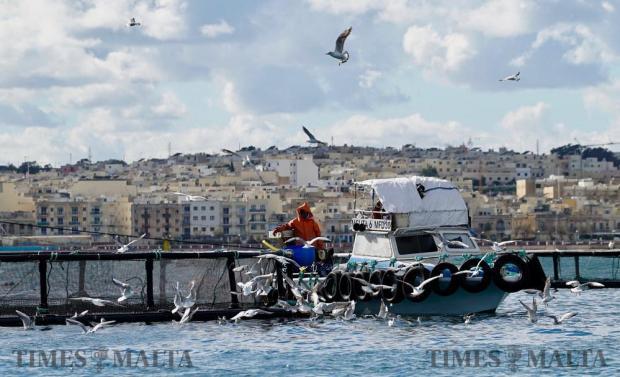 A group of gulls gather around a boat near the fish farms in Marsaxlokk on January 10. Photo: Steve Zammit Lupi
