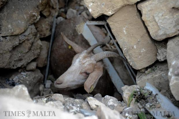 A lucky goat awaits rescue from the rubble 17 hours after its shed was destroyed by the fireworks explosion in Gudja on October 31. Photo: Steve Zammit Lupi