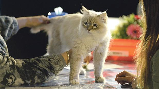 Cats of different breeds were judged by international experts. Photos: Matthew Mirabelli