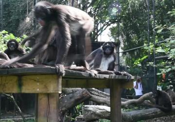 Watch: Zoo celebrates birth of endangered spider monkey