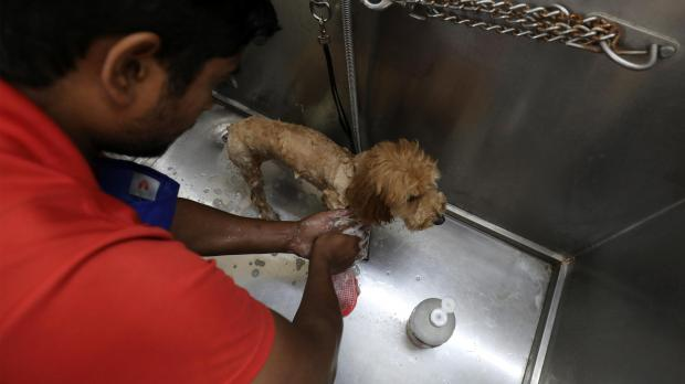 A helper bathes a dog named Lulu at TopDog, a luxury pet resort in Gurugram.