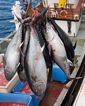 An investigation has uncovered a network of shell companies and distributors that have allegedly been funnelling illegal tuna catches from Maltese waters. Photo: Shutterstock