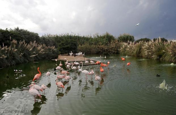 mixture of flamingos, pelicans, swans and storks at the Bird Park in Salina prior to a thunderstorm on October 27. Photo: Chris Sant Fournier