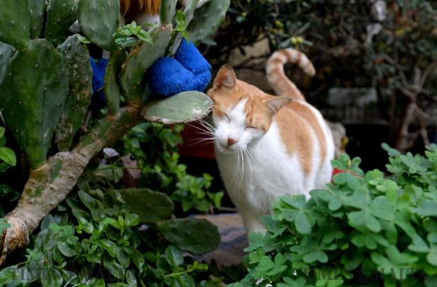 A cat rubs his face against a prickly pear leaf at the Cat Village in Spinola on November 29. Photo: Matthew Mirabelli