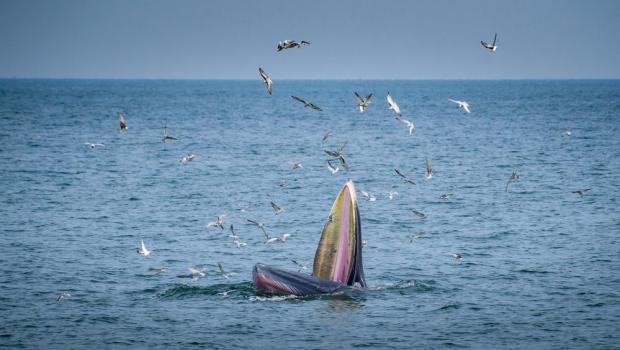A Bryde's whale eating birds. Photo: Shutterstock