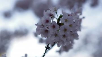 Visitors waiting with bated breath for Japan's cherry blossom forecast