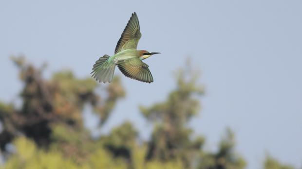 The bee-eater, or Qerd in-Naħal, is extending its visit in Malta during migration season. Photo: Aron Tanti