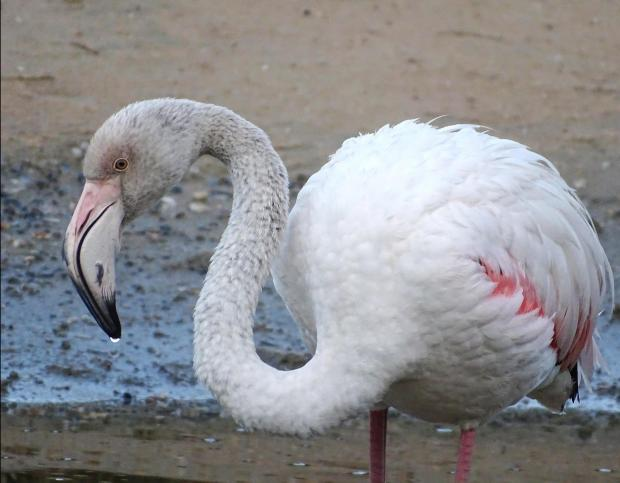 The same Greater Flamingo taken a few weeks ago, showing the distinct pink plumage_Alvin Farrugia