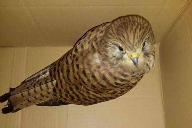 Another protected bird that Birdlife said was injured by hunters in the Spring Hunting season. Photo: Birdlife
