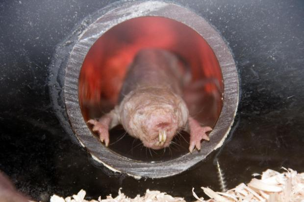 Naked mole-rats behave like plants to survive low oxygen