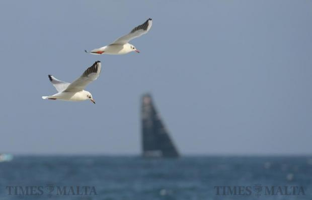 A pair of seagulls flies along the Sliema coast on November 24. Photo: Matthew Mirabelli