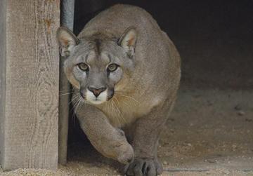 A cougar in a local zoo. Photo: Mark Zammit Cordina