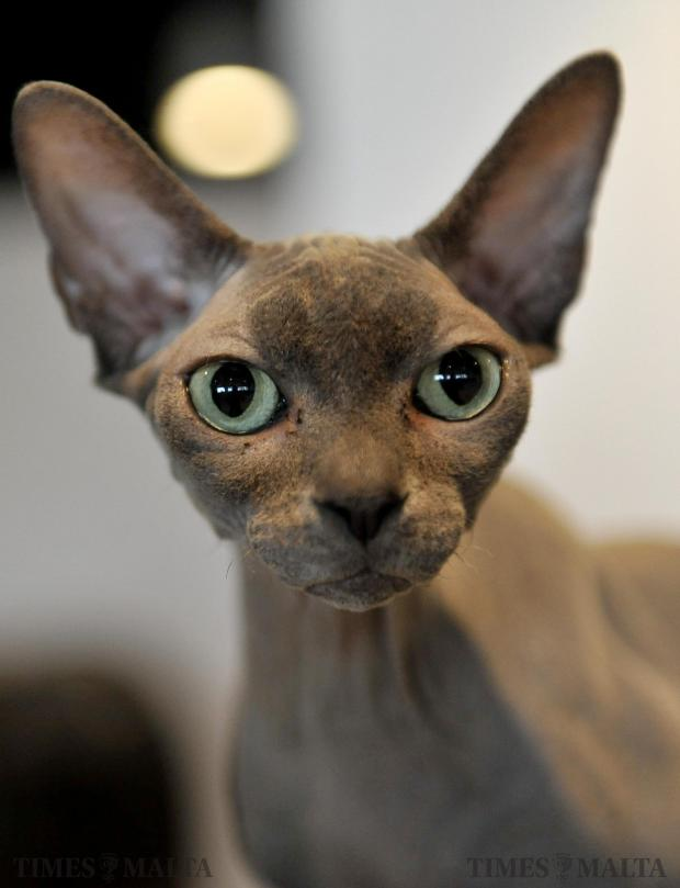 A Canadian Sphynx looks inquisitively into the lens at a cat show held at Smart City on February 4. Photo: Chris Sant Fournier