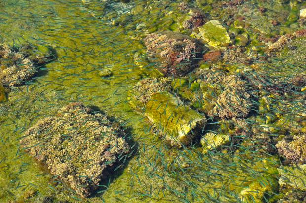 Fish swim above a colourful seabed at Manoel Island on January 31. Photo: Chris Sant Fournier