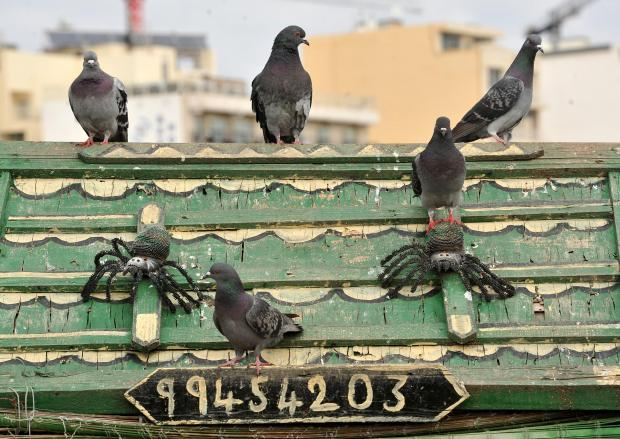 Pigeons perch themselves on the roof of one of the shelters at the Duck Village on Manoel Island on February 28. Photo: Chris Sant Fournier