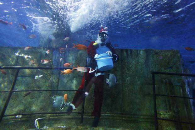 A diver dressed as Santa Claus feeds fish inside a fish tank at the Malta National Aquarium in Qawra on December 22. Photo: Darrin Zammit Lupi