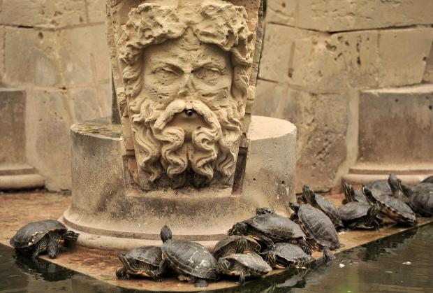 Turtles bask in the sun at San Anton Gardens on April 11. Photo: Chris Sant Fournier