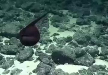 Rare gulper eel wows scientists